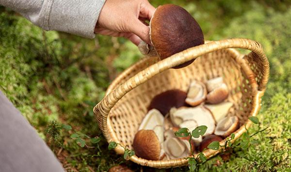 Pilze sammeln in Hösseringen